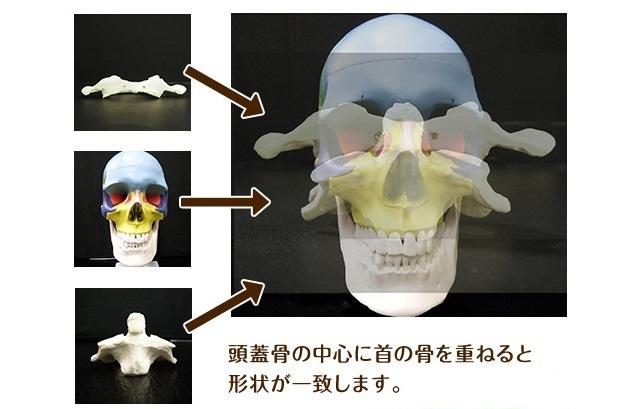 首の骨と頭の位置関係